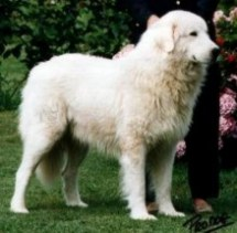 CH. CONTEMAX GRANDES MURAILLES. Owner Pulcherrimus kennel (Italy)